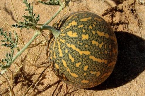 خواص درمانی حنظل یا هندوانه ابوجهل اطلس گیاهان دارویی