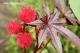 خواص درمانی روغن کرچک - عکس درخت کرچک - اطلس گیاهان دارویی حرمل - خواص کرچک