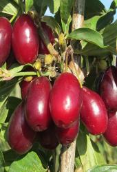 خواص درمانی میوه زغال اخته