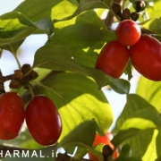 خواص درمانی زغال اخته برای خون و کبد اطلس گیاهان دارویی حرمل (2)