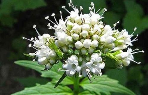 خواص درمانی سنبل الطیب اطلس گیاهان دارویی حرمل عکس گل سنبل الطیب