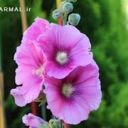 خواص درمانی گل ختمی اطلس گیاهان دارویی حرمل - عکس گل ختمی