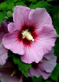 خواص درمانی گل ختمی اطلس گیاهان دارویی حرمل (2)