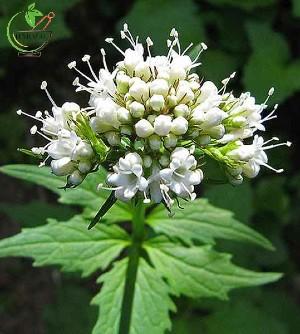 خواص درمانی ریشه سنبل الطیب - اطلس گیاهان دارویی کشور