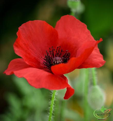 خواص گل شقایق - اطلس گیاهان دارویی