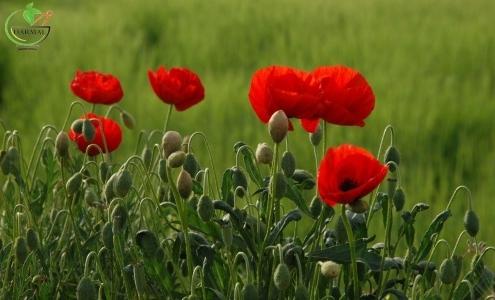 خواص گل شایق - اطلس گیاهان دارویی - گل شقایق مخدر و آرام بخش است