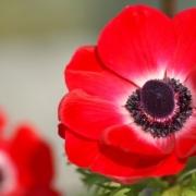 خواص گل شایق - اطلس گیاهان دارویی - گل شقایق مخدر است