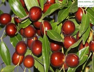 عکس درخت عناب