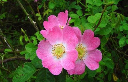 عکس و خواص درمانی گل نسترن