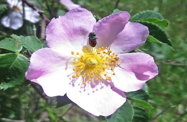 عکس گل نسترن و خواص درمانی گل نسترن