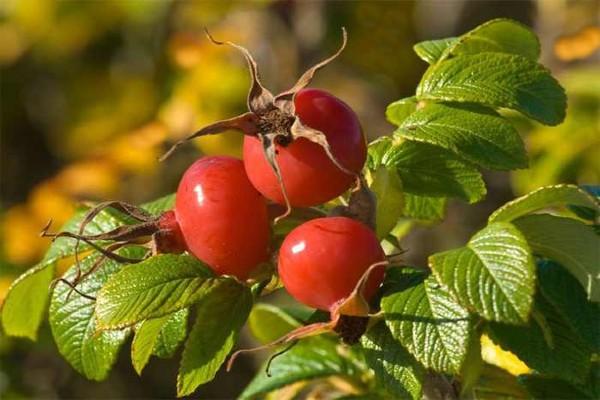 عکس و خواص درمانی میوه گل نسترن