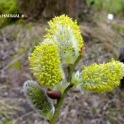 فواید عرق بیدمشک - اطلس گیاهان دارویی