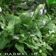 عکس گیاه انجبار و ریشه آن - اطلس گیاهان دارویی کشور