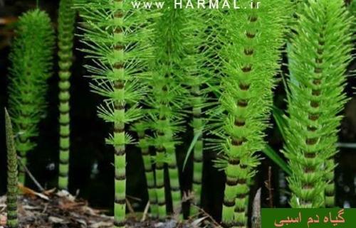 عکس , فواید و خواص درمانی گیاه دم اسبی در طب سنتی