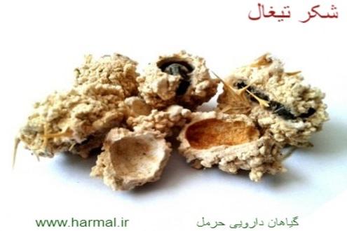 عکس و خواص دارویی و درمانی شکر تیغال
