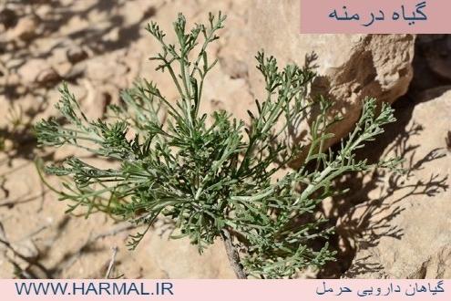 عکس بوته گیاه درمنه - اطلس گیاهان دارویی