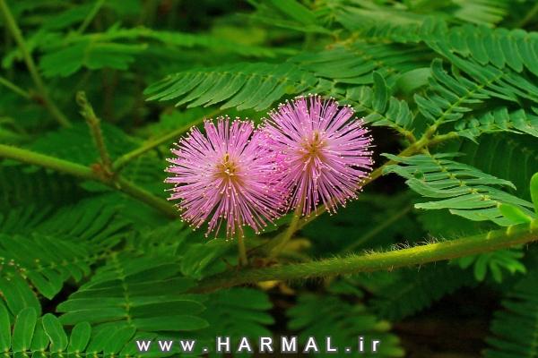 گل حساس یا قهر و آشتی