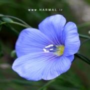 عکس گیاه کتان و تخم آن - اطلس گیاهان دارویی