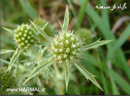 عکس گیاه دارویی قرصعنه - زولنگ - چوچاق