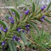 عکس گیاه بالنگو شیرازی یا شهری - اطلس گیاهان دارویی