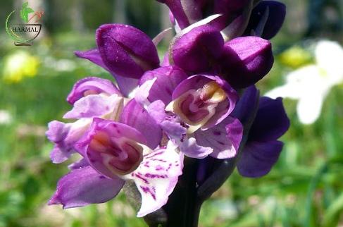خواص درمانی ثعلب - اطلس گیاهان دارویی