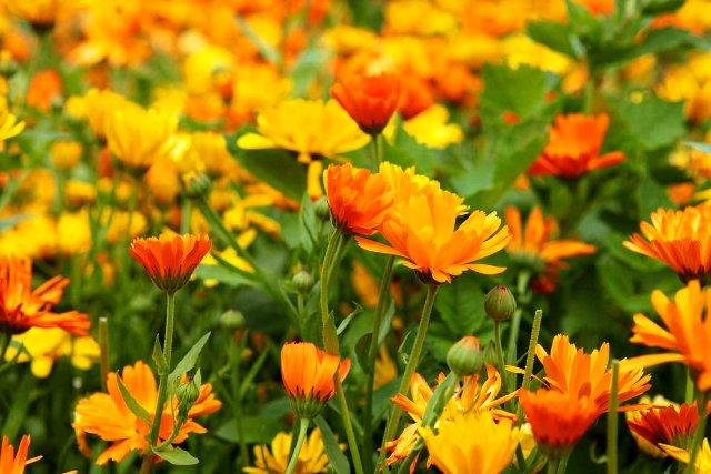 خواص دارویی گل همیشه بهار