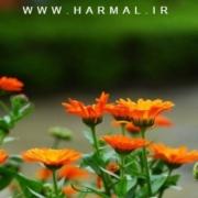 عکس و خواص دارویی و درمانی گل همیشه بهار