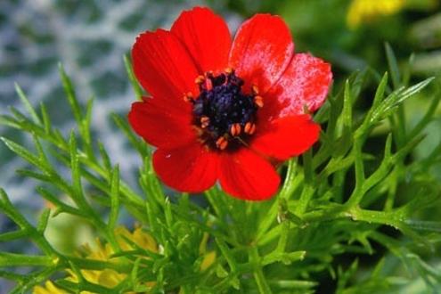 خواص گیاه چشم خروس یا آدونیس عکس گیاه چشم خروس اطلس گیاهان دارویی (1)