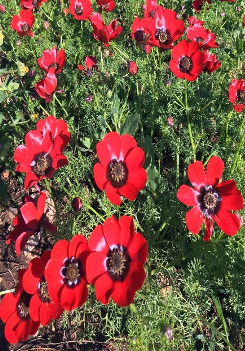 عکس گیاه آدونیس یا چشم خروس عکس گیاه چشم خروس اطلس گیاهان دارویی (1)