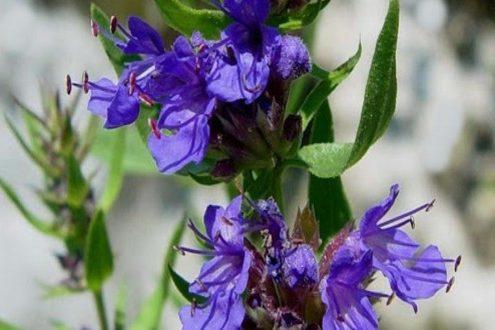 خواص گل و گیاه زوفا برای پوست و مو و آسم