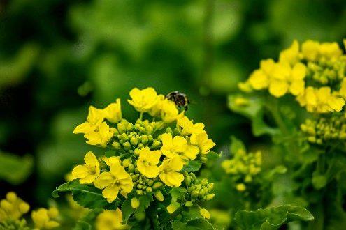 خواص دانه خردل سیاه و زرد یا قهوه ای و عکس گیاه خردل